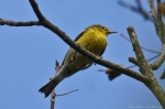 HSNP Goat Rock Trail Pine Warbler