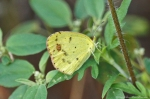 HSNP Goat Rock Trail Sulphur Butterfly