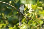 HSNP Upper Dogwood TrailYellow-billed Cuckoo