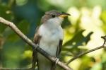 HSNP Upper Dogwood TrailYellow-billed Cuckoo