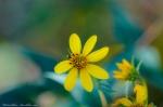 HSNP Goat Rock Trail Woodland Sunflowers