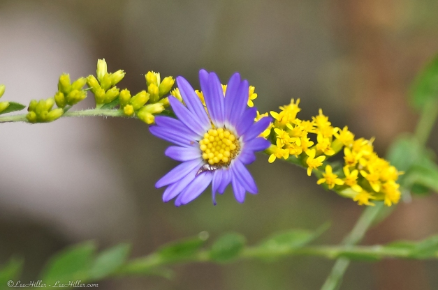 Aster and Goldenrod #Wildflowers