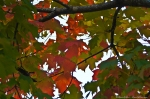 Autumn Leaves Maple Tree in Early Morning Light