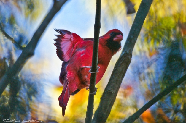 Autumn Wings of Red - Male Cardinal