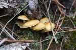 HSNP Honeysuckle Trail Winter Fungi