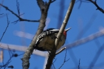 HSNP Upper Dogwood trail Male Yellow-Bellied Sapsucker