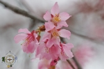 Cherry Blossoms 2016 Hot Springs Historic District Arkansas