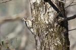 HSNP Upper Dogwood Trail Yellow-Bellied Sapsucker