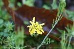 HSNP Spring Rain Soaked Dandelion