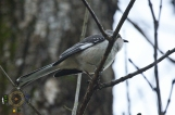 HSNP Spring Rain Mockingbird