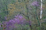 HSNP Spring Rain Redbud Tree