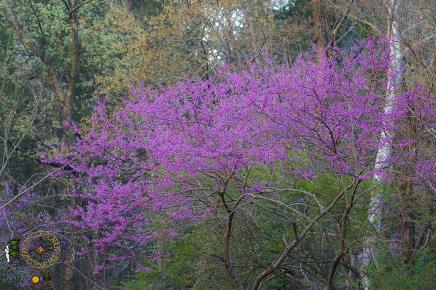 HSNP Spring Redbud Tree Blossoms