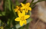 HSNP Goat Rock Trail Yellow Star Grass