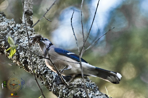 A Mouthful - Blue Jay grabbing nesting material