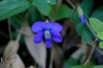 HSNP Upper Dogwood Trail Woolly Blue Violet