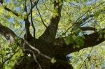 HSNP Upper Dogwood Trail Grandma Tree