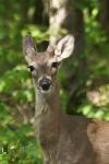 HSNP Upper Dogwood Trail Whitetail Deer Button Buck