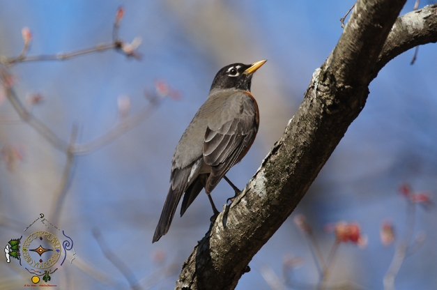 HSNP Upper Dogwood Trail American Robin