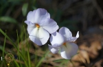 HSNP Upper Dogwood Trail Bird Foot Violet