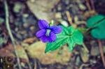 HSNP Upper Dogwood Trail Blue Woolly Violet