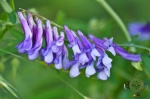 HSNP Carriage Road Wood Vetch