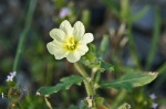 HSNP Hot Springs Mt Trail Rough-fruited Cinquefoil