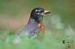 HSNP Fountain Street Lawn Male Robin with worms