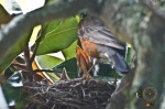 HSNP Fountain Street Lawn Magnolia Tree Robins Nest Feeding Time