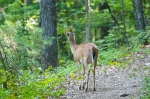 HSNP Upper Dogwood Trail Pregnant Whitetail Deer