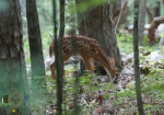 HSNP Upper Dogwood Trail Whitetail Deer Fawn
