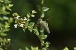 HSNP Hummingbird sipping nectar