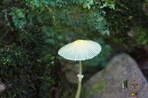 HSNP Upper Dogwood Trail Fungus Angels Bonnet (I think)