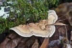 HSNP Upper Dogwood Trail Fungus Turkey Tail