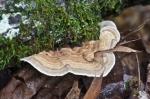 HSNP Upper Dogwood Trail Fungus Turkey Tail