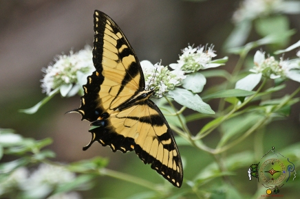 HSNP Upper Dogwood Trail Eastern Swallowtail Butterfly on Mountain Mint
