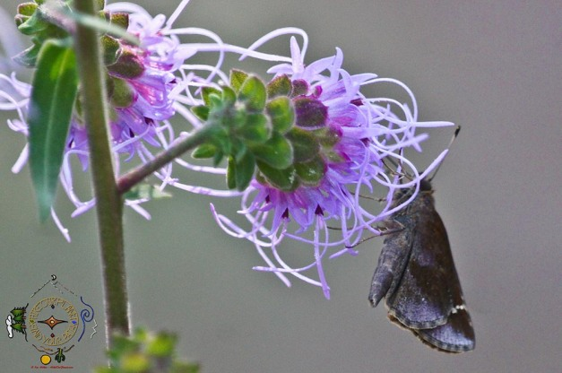 HSNP Wild Indigo Duskywing on Ouachita Blazing Star