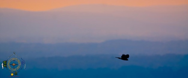 HSNP Peregrine Falcon in flight across sunrise