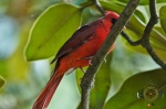 HSNP Male Cardinal in Magnolia Tree