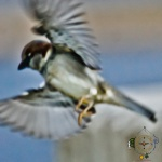 HSNP Male House Sparrow in flight
