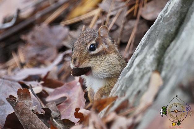 HSNP Upper Dogwood Trail Chipmunk gathering Nuts