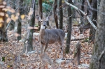 HSNP North Mountain Whitetail Deer