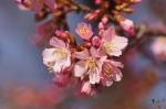 Hot Springs Historic District Cherry Blossoms 2017 Sakura