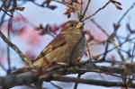 Hot Springs Historic District Cherry Blossoms 2017 Sparrow
