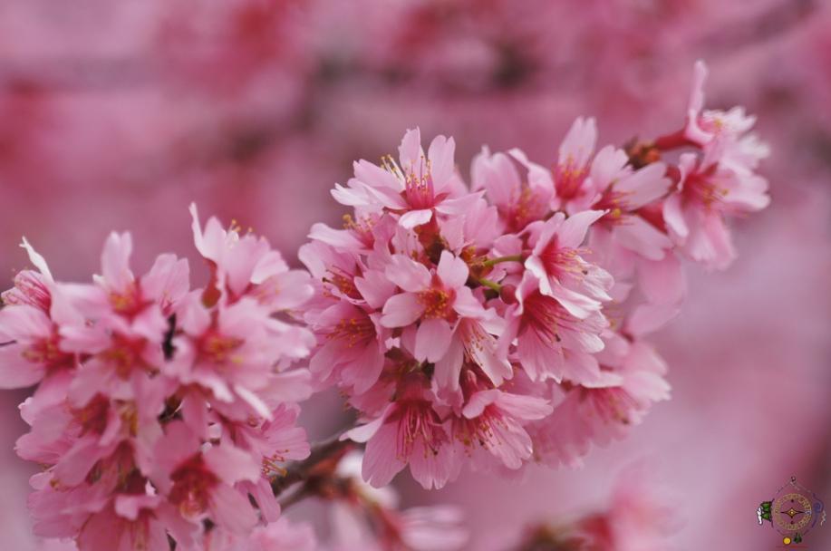Hot springs arkansas cherry blossoms sakura hike our planet hot springs arkansas cherry blossoms sakura mightylinksfo