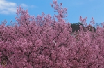 Hot Springs Arkansas Cherry Blossoms Sakura