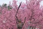 Hot Springs Arkansas Cherry Blossoms Sakura Girl With Kite Statue