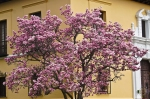HSNP Japanese Saucer Magnolia