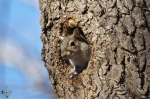 HSNP Upper Dogwood Trail Squirrel in Tree Nest