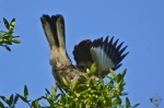 HSNP Juvenile Mockingbird