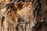 HSNP West Mt Canyon Trail pine sap